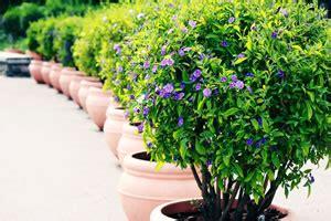 Kübelpflanzen Winterhart Immergrün Sonnig by Enzianbaum Lyccianthes Rantonnetii Pflege Tipps