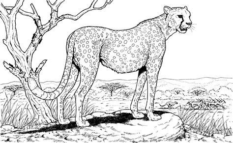 cheetah coloring pages free cheetah coloring pages