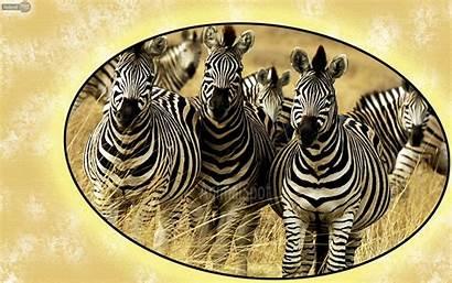 Zebra Desktop Wallpapers Backgrounds Animal Computer Resolution