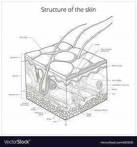 Skin Structure Royalty Free Vector Image