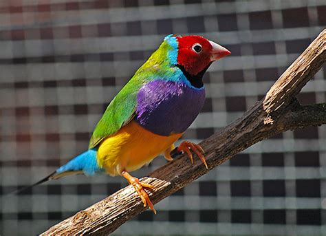 birds as pets gouldian finch erythrura gouldiae