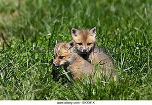 Baby Foxes Stock Photos & Baby Foxes Stock Images - Alamy
