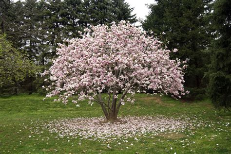 Magnolia Trees To Bring Cheer In Your Front Yard