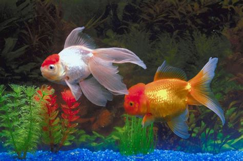 freshwater aquarium fish photos freshwater tropical fish