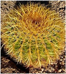 Water When Dry: Echinocactus grusonii ~ Golden Barrel