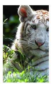 Animal White Tiger 4K HD Tiger Animals Wallpapers   HD ...