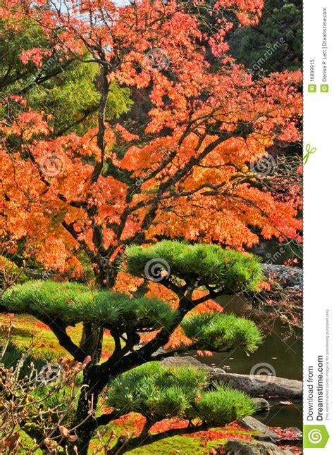 giardino autunno albero dell acero e di pino di autunno in giardino