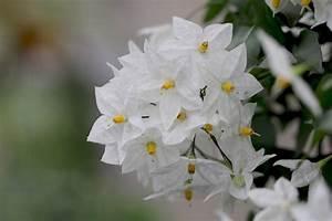 Jasmin Pflanze Winterhart : wei er jasmin sommerjasmin solanum laxum jasminoides pflege ~ Frokenaadalensverden.com Haus und Dekorationen