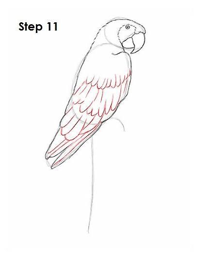 Macaw Scarlet Draw Drawing Bird Step How2drawanimals