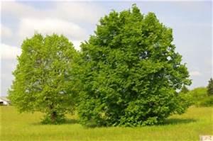 Arbre Ombre Croissance Rapide : tilleul et acacia ~ Premium-room.com Idées de Décoration