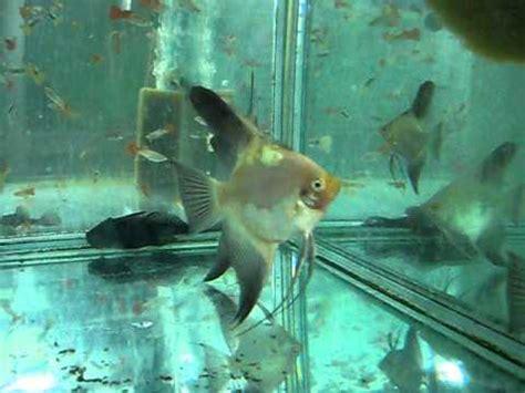 blushing bulgarian seal point angelfish   selection