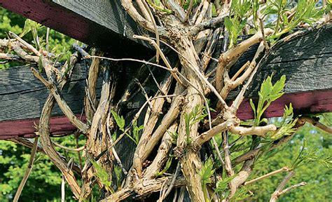 wie lange darf bäume schneiden ab wann hecke schneiden hecke b ume richtig schneiden
