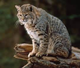 bob cats bobcat facts and pictures wildlife pro