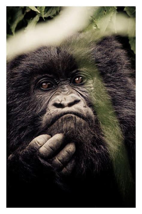 images  gorillas  pinterest