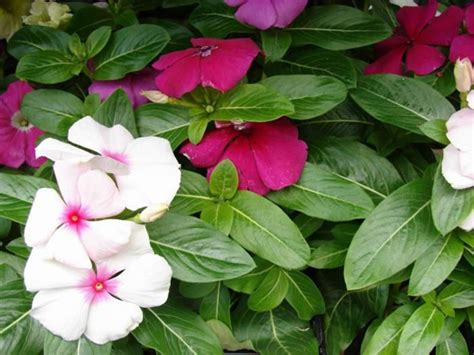 cural impatance of rosy periwinkle the importance of biodiversity to human boundless biology