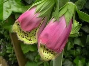 Acheter Des Plantes : digitalis purpurea 39 gloxiniiflora 39 plantes vivaces acheter des plantes en ligne ~ Melissatoandfro.com Idées de Décoration