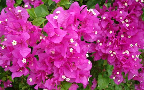 best flower bouquets bougainvillea flowers wallpapers hd pictures one hd