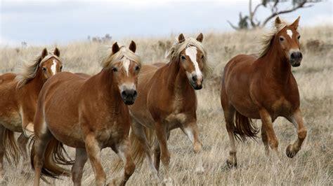 haflinger horse golden horses background heart association breeders breeding mares