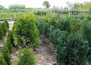 11 Pflanzen Methode : thuja und chamecyparis in der baumschule ~ Lizthompson.info Haus und Dekorationen
