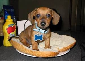 dachshund in a hot dog bun | Jimi Hendrix on a Bun ...