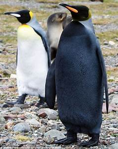 One rare bird: Black penguin suffers from 'one in a ...