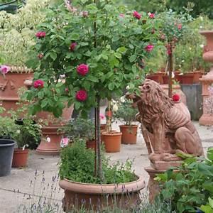 Rosen Für Balkon : rosen im kuebel rosen ratgeber informatives rosen ~ Michelbontemps.com Haus und Dekorationen