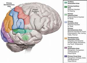 Diagram Of The Brain Labeling The Sensory Areas Of The The Brain Associated With Imagery