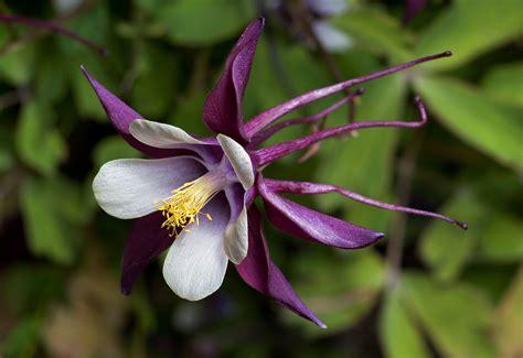 columbine plant file aquilegia columbine magpie cultivar 2 jpg wikipedia