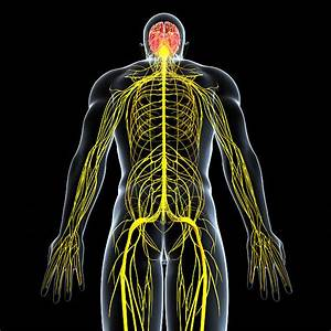 Best Central Nervous System Stock Photos  Pictures