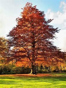 Baum Mit Roten Blättern : rotbuche natur view fotocommunity ~ Eleganceandgraceweddings.com Haus und Dekorationen
