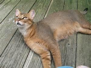 hybrid cats felid advocacy center of washington home