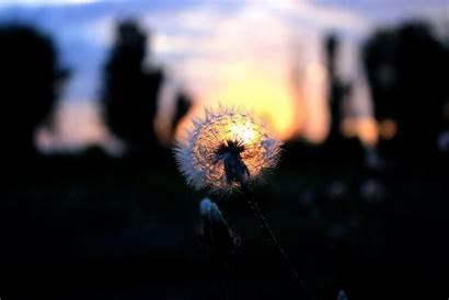 Gambar Dandelion Hitam Matahari Bayangan Bunga Cahaya