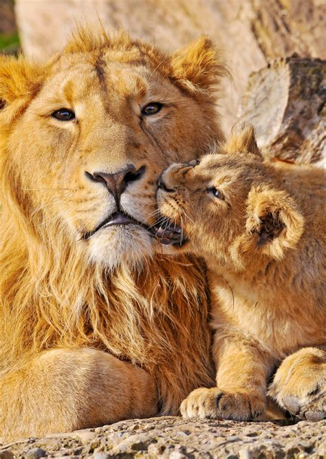 pictures  lions sleeping hunting roaring