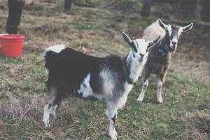 We're Going All In: Nigerian Dwarf Goats - First Time ...