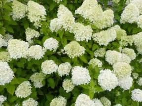 schneeball hortensie schneiden hortensien schneiden ja oder nein