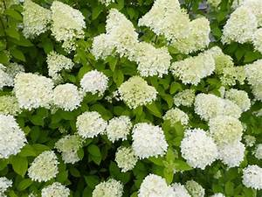 Wie Lange Blühen Hortensien : hortensien schneiden ja oder nein kraut r ben ~ Frokenaadalensverden.com Haus und Dekorationen