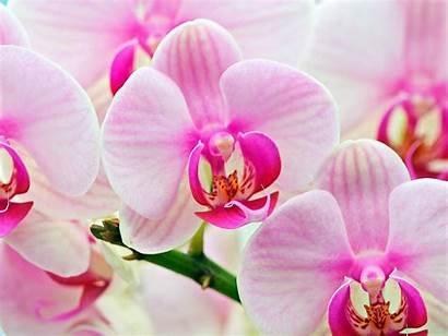 Orchid Wallpapers Desktop Flowers