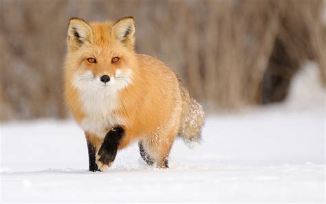 Fox Animal Wallpaper - fox hd wallpaper and background 1920x1200 id 500274