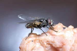 Mücken In Der Wohnung Was Tun : fliegeneier in der wohnung was tun ~ Whattoseeinmadrid.com Haus und Dekorationen