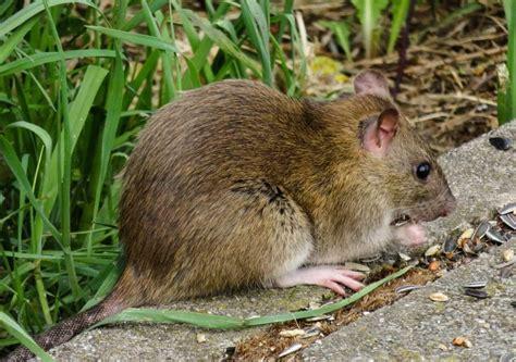 rats mice  rodent exterminator organic pest control nyc