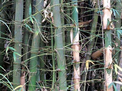 bambusa balcooa balcooa bamboo