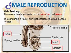 REPRODUCTIVE SYSTEM. - ppt download