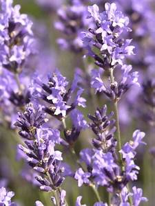 Echter Lavendel Kaufen : lavandula angustifolia kaufen ~ Eleganceandgraceweddings.com Haus und Dekorationen