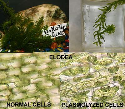 plasmolysis  elodea