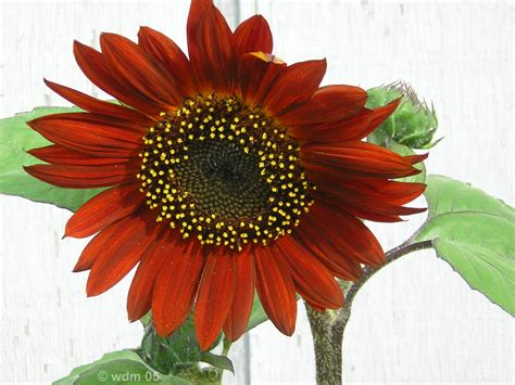 growing sunflowers in pots thriftyfun
