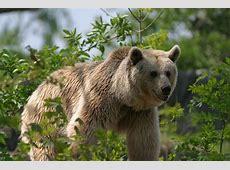 Tiere Syrischer Braunbär