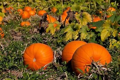 Pumpkin Desktop Patch October Fall Background Wallpapers