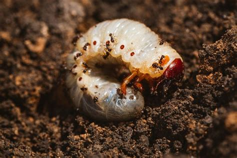 how to kill grubs naturally how to kill grub worms with soap hunker