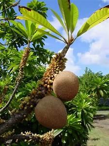 Mamey sapote or Zapote Fruit Tree exotic fruits Pinterest