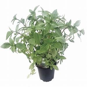 Basilikum Im Topf Pflege : thai basilikum im topf kaufen pflanzen thai basilikum kaufen ~ Orissabook.com Haus und Dekorationen